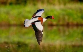 Картинка зелень, полет, птица, крылья, летит, утка, водоем, боке, яркое оперение, размах