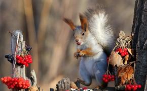 Картинка природа, поза, ягоды, фон, дерево, белка, мордочка, орехи, стойка, калина, трапеза