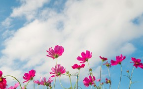 Картинка поле, лето, небо, солнце, цветы, colorful, луг, summer, розовые, field, pink, flowers, cosmos, meadow