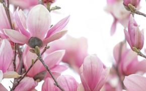 Картинка макро, розовый, магнолия