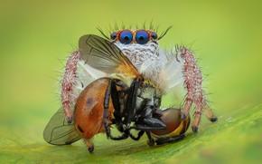 Картинка глаза, макро, муха, фон, паук, добыча, прыгун, джампер, паучок, прыгающий паук, членистоногое