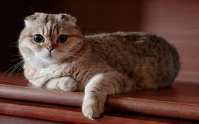 Картинка кошка, взгляд, шотландская, вислоухая