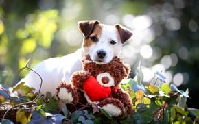 Картинка белый, взгляд, листья, свет, природа, фон, игрушка, портрет, собака, малыш, медведь, мишка, милый, щенок, мордашка, ...