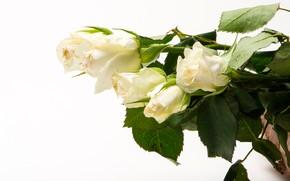 Картинка листья, цветы, розы, белый фон, белые, бутоны
