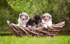 Картинка зелень, собаки, трава, природа, фон, корзина, поляна, щенки, четверо, малыши, компания, мордочки, детишки, деревяшки, квартет, …