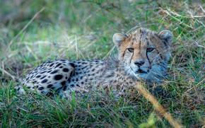 Картинка трава, малыш, гепард, лежит, детеныш