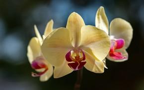 Картинка макро, орхидея, фалинопсис