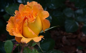 Картинка роза, куст, красота, бутоны, оранжевая роза