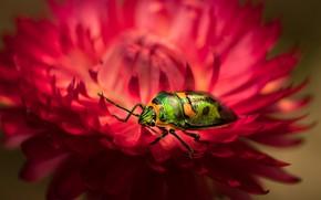 Картинка цветок, макро, красный, зеленый, жук, размытие, лепестки, насекомое, блестящий