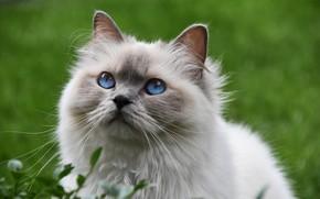Картинка Кошка, голубые глаза, пушистая