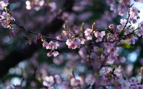 Картинка свет, цветы, ветки, вишня, ветка, весна, сакура, розовые, цветение, боке, размытый фон