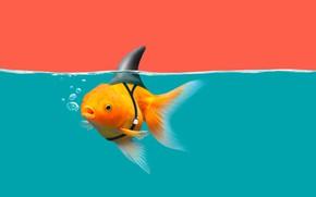 Картинка water, goldfish, shark fin