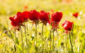 Картинка цветы, поляна, мак, маки, красные, желтый фон, боке