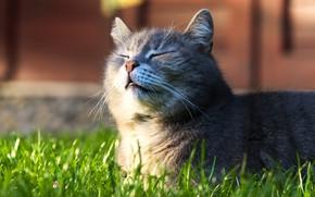 Картинка кошка, трава, кот, морда, серый, лежит, закрытые глаза