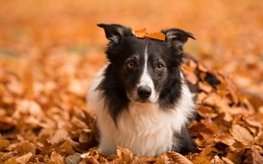 Картинка осень, морда, листья, природа, собака, бордер-колли