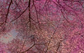 Картинка вишня, весна, Канада, Ванкувер, цветение