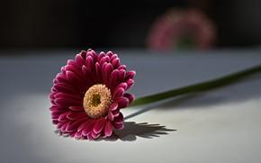 Картинка цветок, фон, gerbera