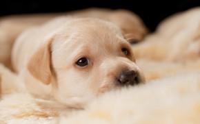 Картинка взгляд, портрет, глазки, собака, малыш, милый, щенок, лежит, мех, мордашка, лабрадор, золотистый, ретривер, щеночек