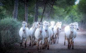 Картинка дорога, природа, парк, кони, лошади, белые, стадо, скакуны, стадо коней