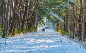 Картинка зима, иней, дорога, лес, свет, снег, деревья, ветки, природа, олень, сугробы, тени, колея, олени, поздняя …