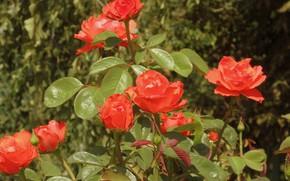 Картинка куст, розы, оранжевые розы, Meduzanol ©, лето 2018