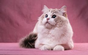 Картинка кошка, кот, взгляд, морда, поза, портрет, лежит, голубые глаза, розовый фон, милашка, пушистая, рэгдолл