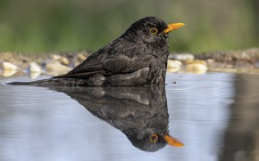 Картинка природа, отражение, птица, лужа
