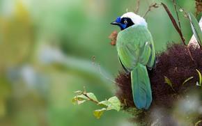 Картинка листья, зеленый, фон, птица, растительность, гнездо, зеленая, разноцветная, сойка, перуанская, сойка инка, инка