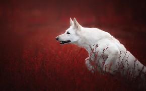 Картинка трава, прыжок, собака, красный фон, Белая швейцарская овчарка