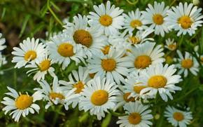 Картинка белый, цветы, ромашки, Лето