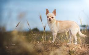 Картинка поле, небо, взгляд, природа, поза, собака, колоски, белая, колосья, мордашка, собачка, малышка, чихуахуа, голубой фон, …