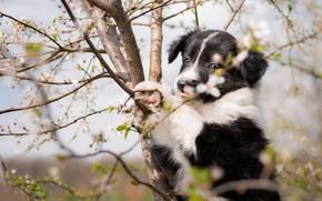 Картинка язык, взгляд, цветы, ветки, поза, дерево, черно-белый, собака, весна, сад, малыш, щенок, мордашка, цветение, сидит ...
