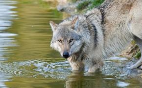 Картинка взгляд, вода, поза, серый, берег, волк, водопой, водоем