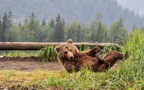 Картинка лес, трава, взгляд, морда, поза, медведь, мишка, лежит, бревно, бурый