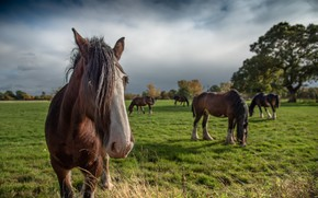 Картинка поле, природа, кони