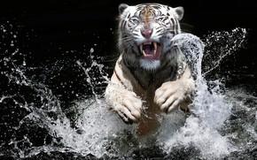 Картинка белый, взгляд, морда, вода, брызги, тигр, темный фон, прыжок, всплеск, лапы, купание, пасть, оскал, злой, …