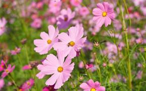 Картинка поле, лето, цветы, colorful, луг, summer, розовые, field, pink, flowers, cosmos, meadow