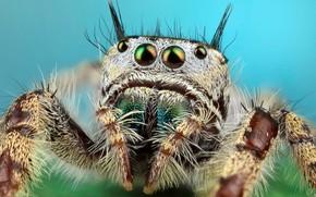 Картинка глаза, макро, поза, фон, голубой, портрет, лапки, паук, волоски, мохнатый, прыгун, джампер, паучок, скакунчик, прыгунчик, …