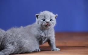 Картинка язык, фон, малыш, котята, котёнок, малыши, британский