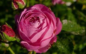Картинка макро, роза, капли воды