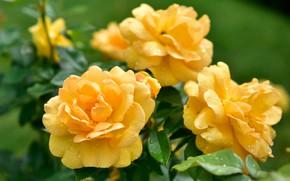 Картинка цветы, фон, розы, желтые, сад, бутоны