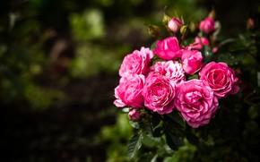 Картинка макро, куст, розы, много