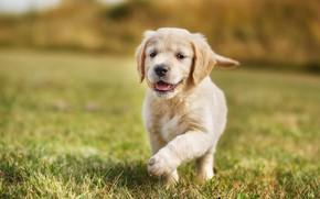 Картинка лето, трава, радость, фон, поляна, собака, малыш, бег, щенок, прогулка, ретривер