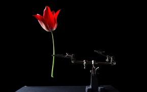 Картинка тюльпан, на черном фоне, цвеТЫ, краСИВО