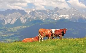 Картинка горы, природа, коровы