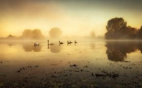 Картинка деревья, птицы, туман, берег, утро, лебеди, водоем