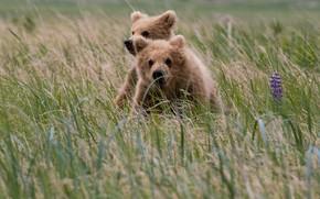 Картинка поле, трава, взгляд, морда, природа, поза, медведь, медведи, колоски, пара, медвежонок, медвежата, парочка, мишки, два, …
