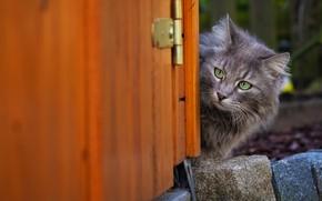 Картинка кошка, кот, морда, серый, фон, дверь, кирпичи, серая, выглядывает