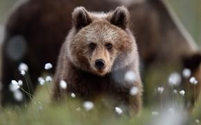 Картинка взгляд, морда, цветы, природа, поза, темный фон, портрет, малыш, медведь, медведи, мишка, хлопок, медвежонок, прогулка, …