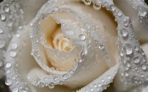 Картинка капли, макро, роза, белая